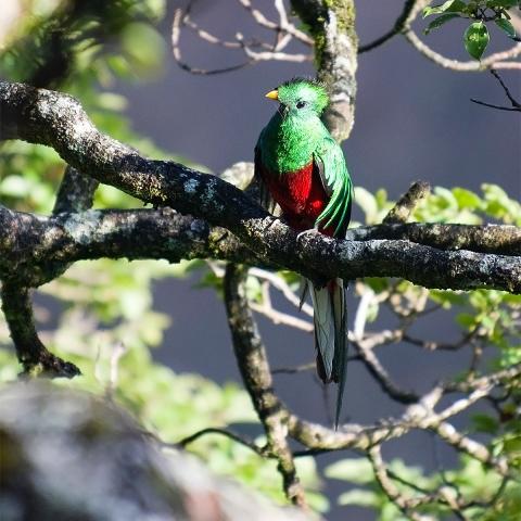 Photo of a quetzal.