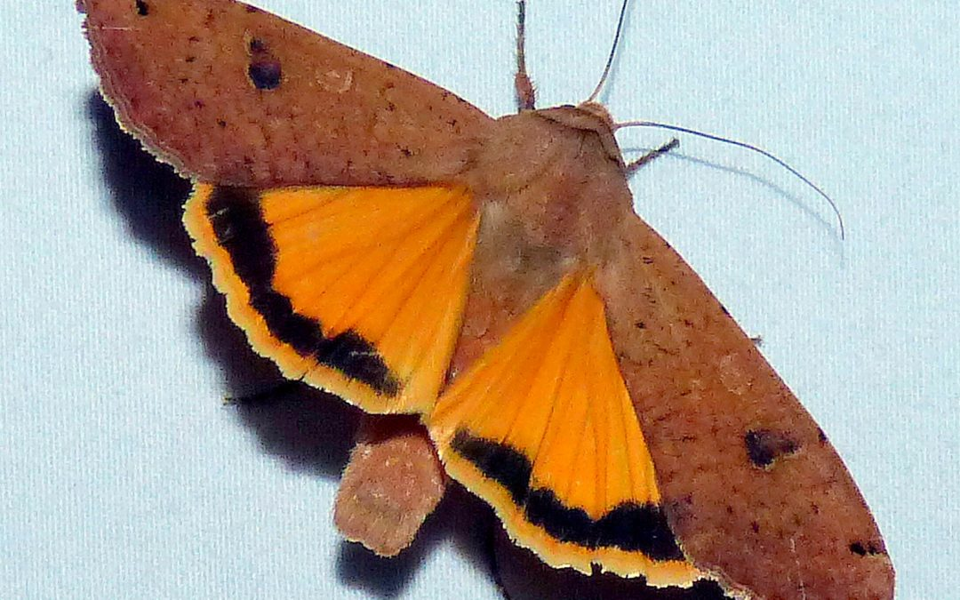 Local moths topic of book displayed at Werner
