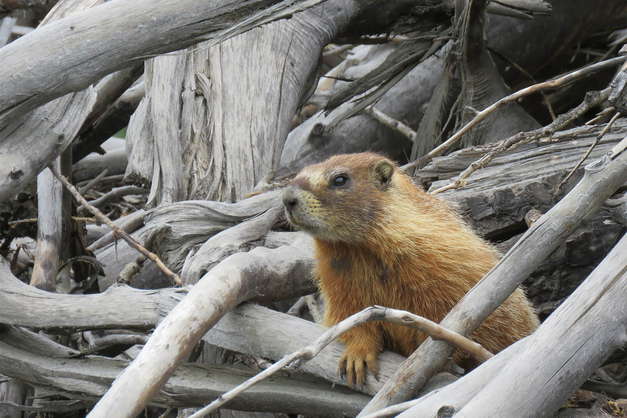 Color photo of a marmot on a pile of driftwood.