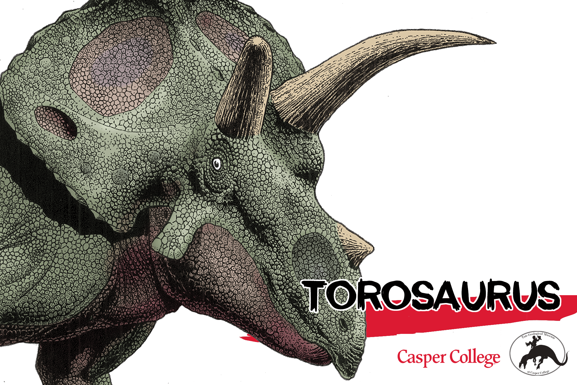Colored drawing of a Torosaurus head with the word Torosaurus.