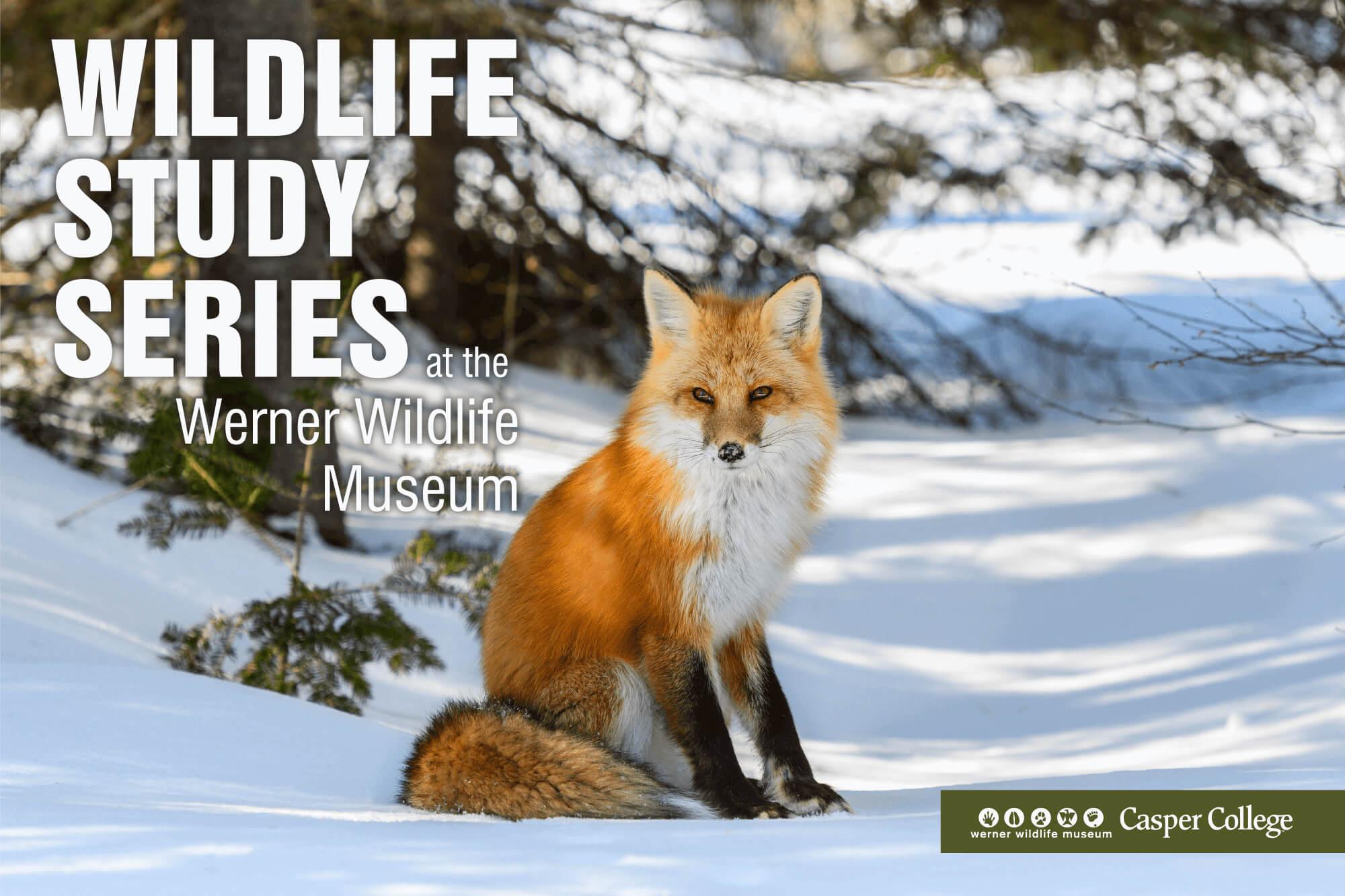 red fox sitting in snow
