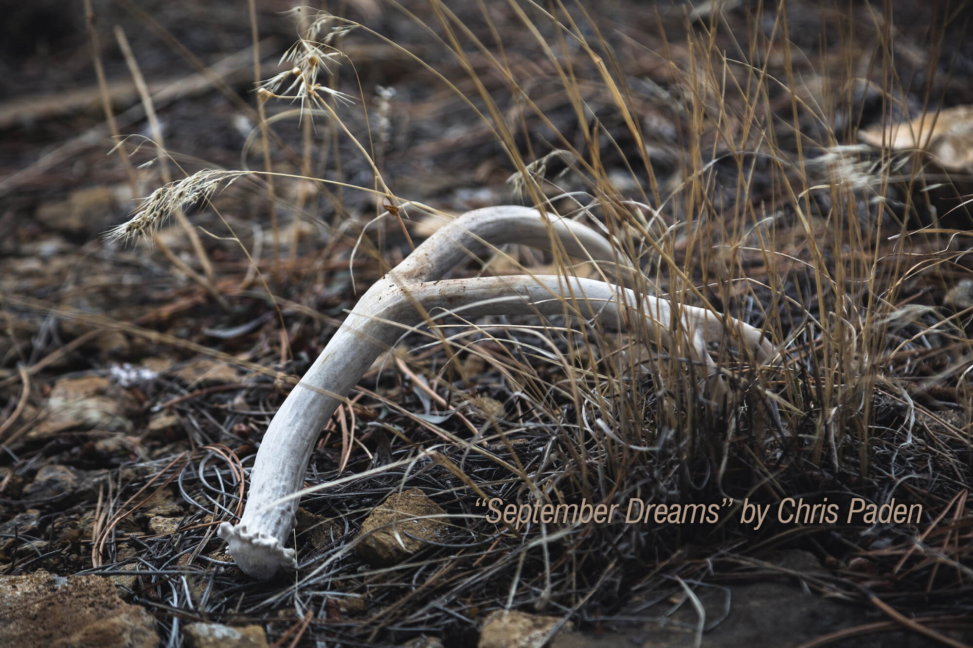 "Photograph of shed antlers on the ground with the words ""'September Dreams' by Chris Paden."""