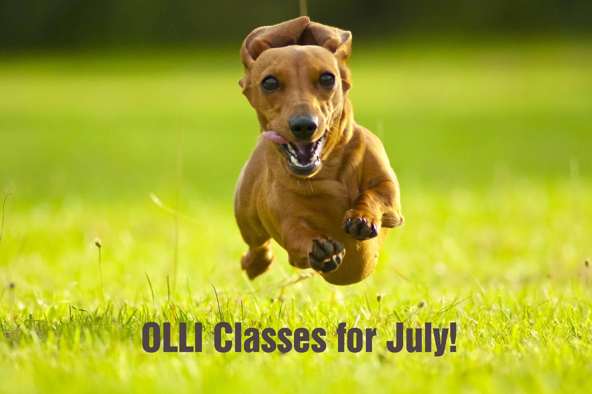 """Dachshund running in the grass with the words """"OLLI Classes for July!"""""""
